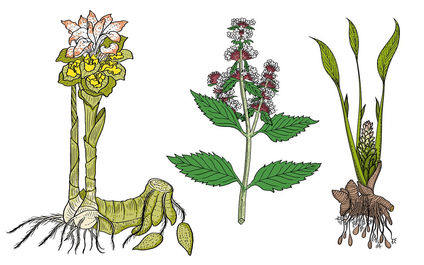 Ginger, Pudina, Turmeric